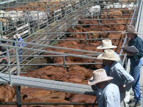 Dalrymple Sales Yards - Cattle Sales - Melbourne Tourism