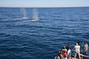 Blue Whale Perth Canyon Expedition - Melbourne Tourism