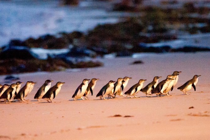 Phillip Island Penguin Parade Entry and Express Shuttle from Melbourne - Melbourne Tourism