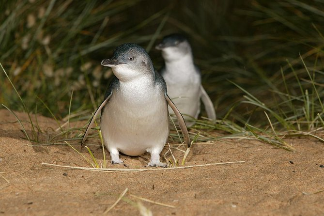 Express Expedition to Phillip Island Penguin Wildlife Encounter Evening Tour - Melbourne Tourism